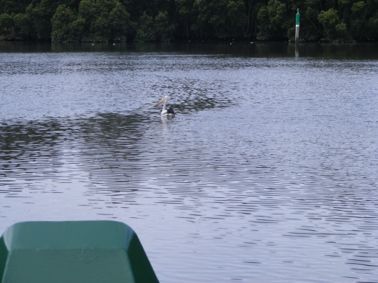 Pelican on Parramatta River