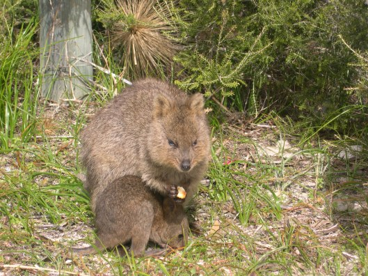 Quokka eating Sal's biscuits