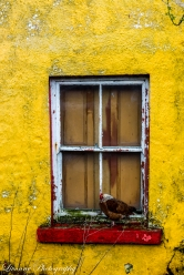 Chicken in a window