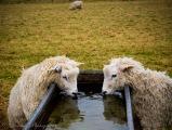 sheep at stonehenge